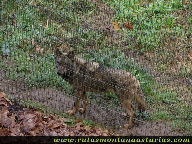 Lobo en el cercado