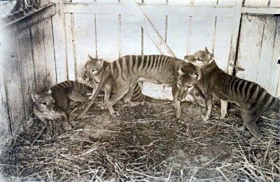 "Le loup marsupial ""Thylacinus cynocephalus """