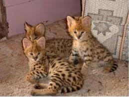 gato-serval-comportamiento-personalidad