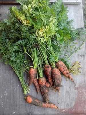 Coltivare le carote in un orto biologico