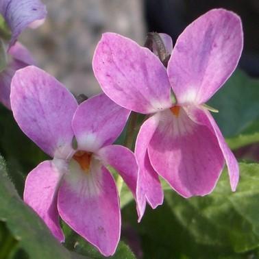flor de violeta color rosa