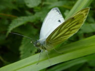 Green-Vained White