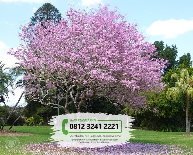 Jual Bibit Pohon Tabebuya Rose Pink
