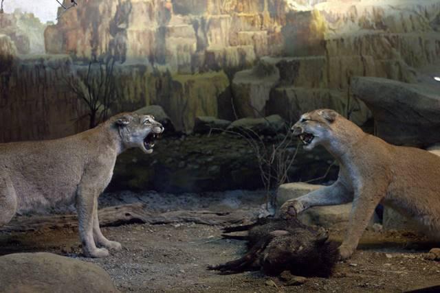 Diorama Singa Betina Bertarung - Museum Satwa Jatim Park #7