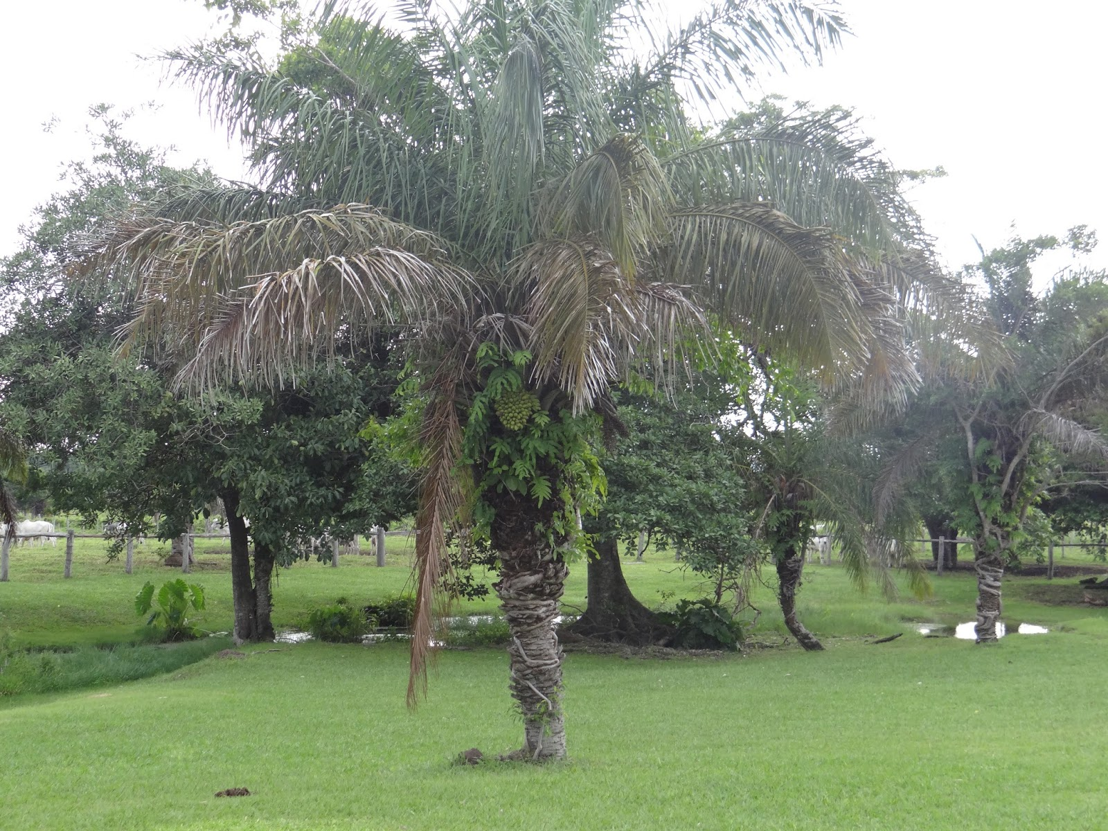 Resultado de imagem para COQUEIRO BACURI