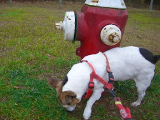 Mick the wonder dog peeing on fire hydrant