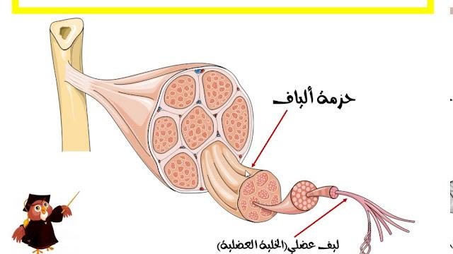 الجهاز العضلي في الإنسان