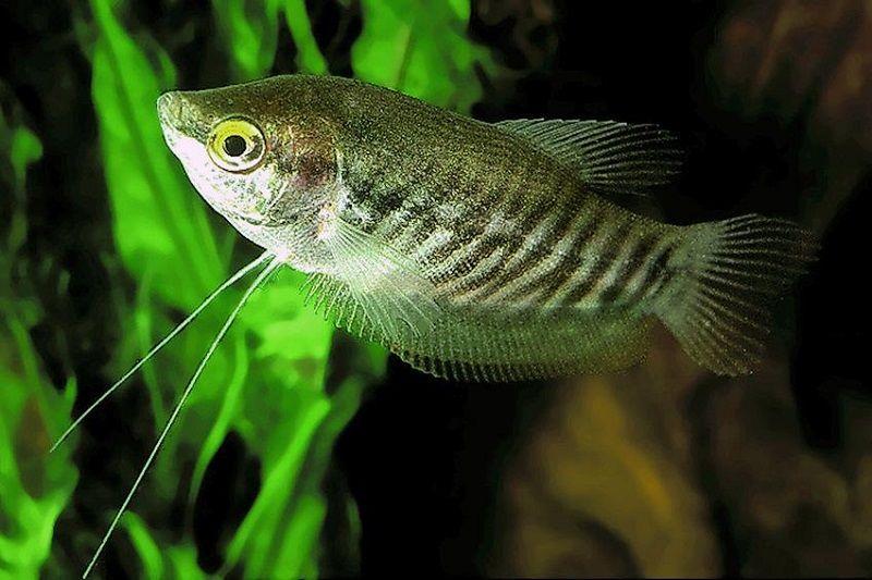 Gambar Kebiasaan Ikan Sepat Siam