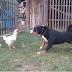 Cão tenta mostrar a uma galinha que quem manda é ele mas... foi surpreendido!