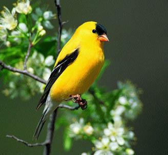 Gold Finch Bird