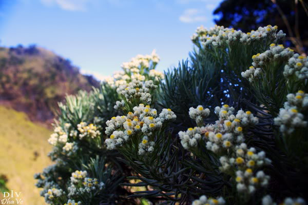 Gambar Bunga Edelweis Cantik Dan Mempesona
