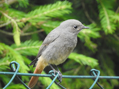 black-redstart-beauty-on-fence