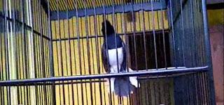 Memilih Burung Kacer yang Baik Dari Segi Katuranggan (Ciri Fisik Burung Kacer)
