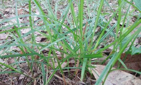 Khasiat Rumput Teki Untuk Kesehatan
