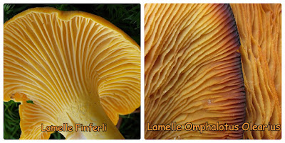 Confronto tra le lamelle dei finferli e del Omphalotus olearius.