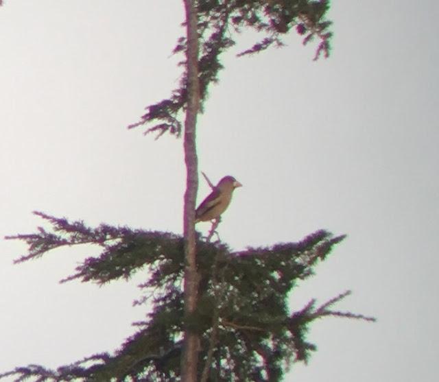 Hawfinch - Llanbedr-y-Cennin, North Wales