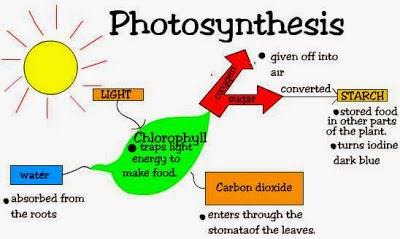 Fotosintesis (Pengertian, Proses, PDF dan Gambar)