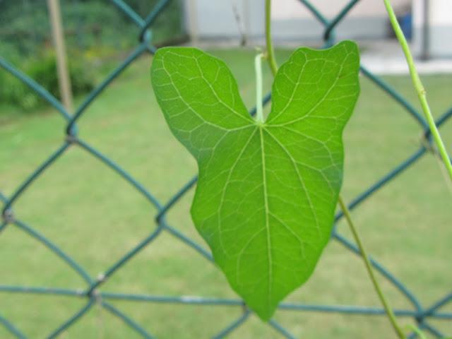 Foglia Calystegia sepium