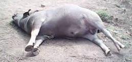jenis-jenis penyakit yang biasa menyerang ternak kerbau peliharaan