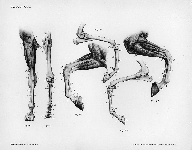 Anthro Anatomica Walking On 2 Legs Not 4