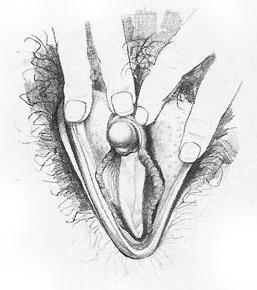 Жіночі статеві органи фото 9