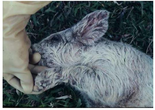 重新載圖74.保育豬皮膚病變如下...