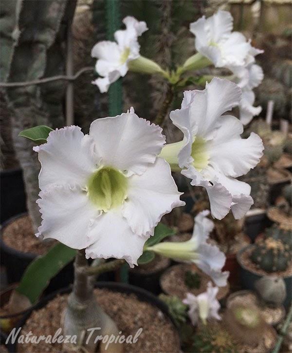 Variedad blanca de la Rosa del Desierto, Adenium obesum