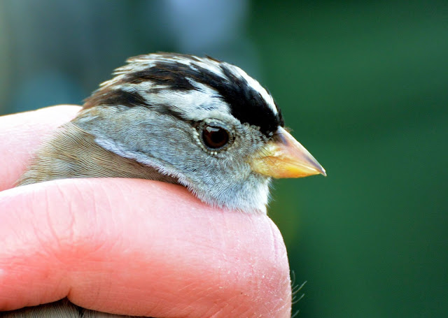 White-crowned Sparrow - Woolston Eyes, Cheshire