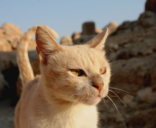 cats of petra jordan