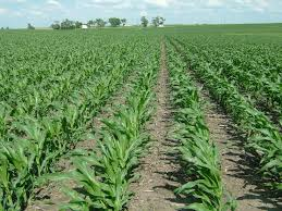 Corn Cultivation Complete Guide For Maximum Results