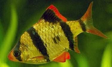 Cách nuôi cá tứ vân (cá Xê Can) trong hồ thủy sinh