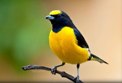 Jenis Burung Murai