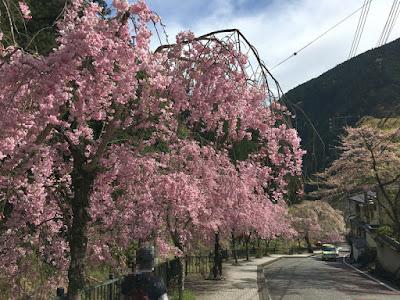 久遠寺 参道の桜