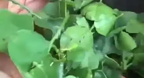 நெஞ்சு சளி நிரந்தரமாக குணமாகும் மருத்துவம் செய்முறை விளக்கம் (வீடியோ இணைப்பு)