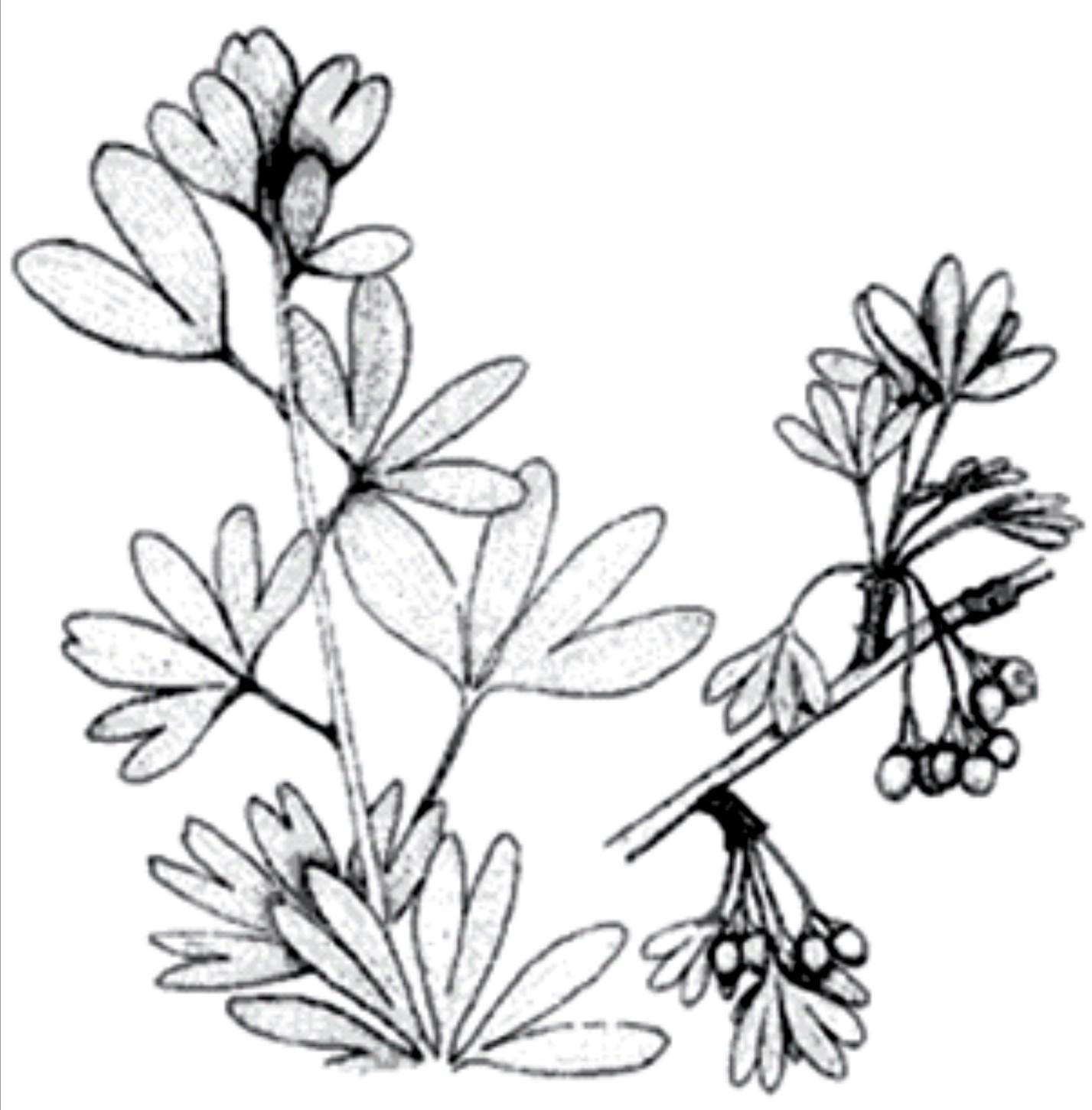Encyclopedia Of Ginkgo Nature S Miracle Ginkgo Biloba
