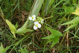 Sagittaire à larges feuilles - Sagittaria latifolia