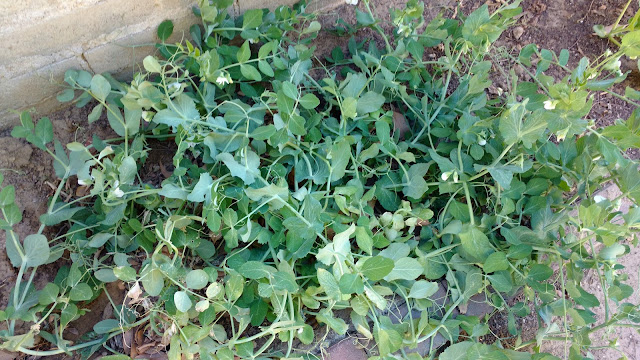 Jumbled pea bed after culling the fibrous plants