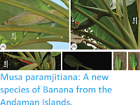 http://sciencythoughts.blogspot.co.uk/2017/11/musa-paramjitiana-new-species-of-banana.html