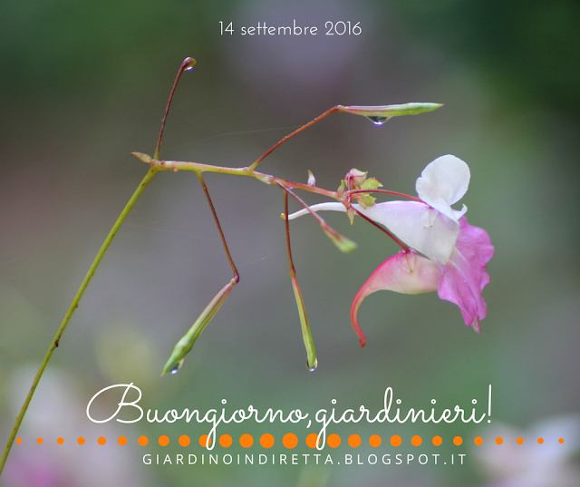 Balsamina di Balfour (Impatiens balfourii Hook) - il giardino dalla A alla Z -  i fiori della settimana - un giardino in diretta
