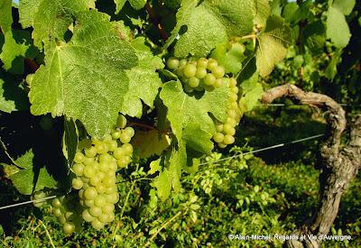 paysage d'été, vigne, raisin blanc
