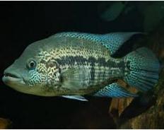 Ikan Predator Air Tawar Cichlid