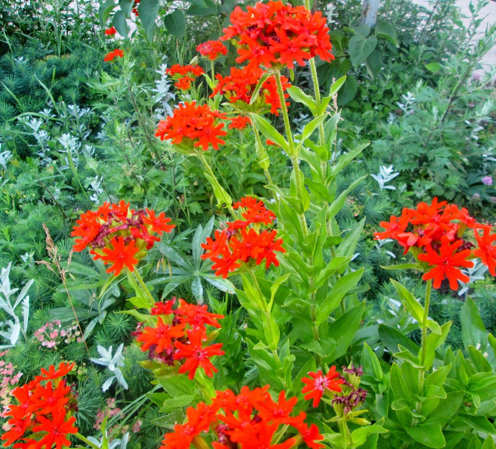 Цветы ранняя зорька
