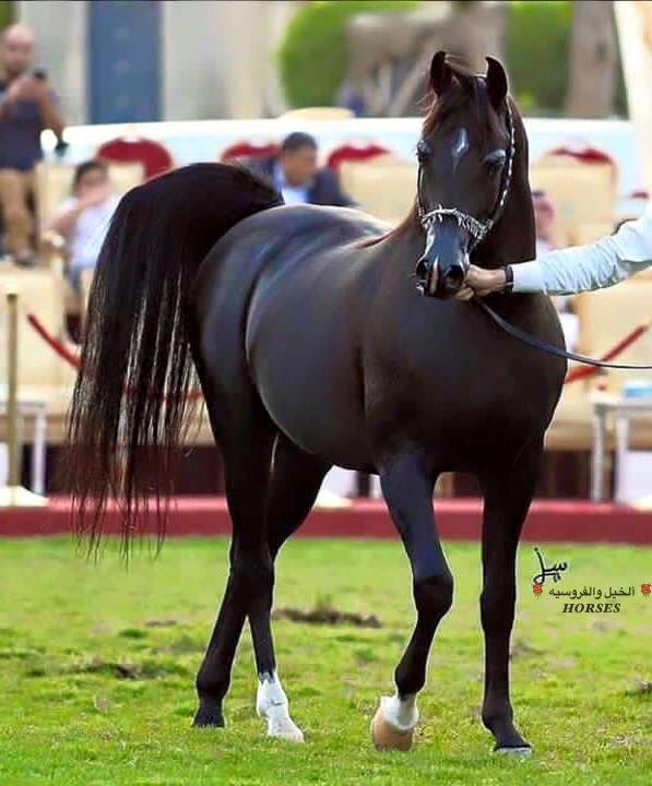 صور حصان خيل عربى اصيل مصراوى الشامل