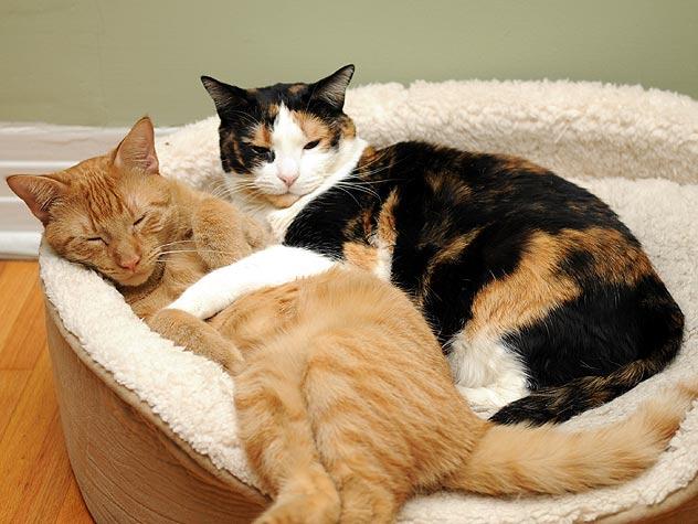 2 beaux gros chats qui dorment ensemble