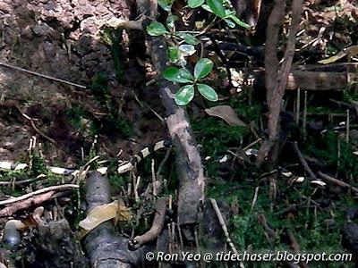 Banded Krait (Bungarus fasciatus)
