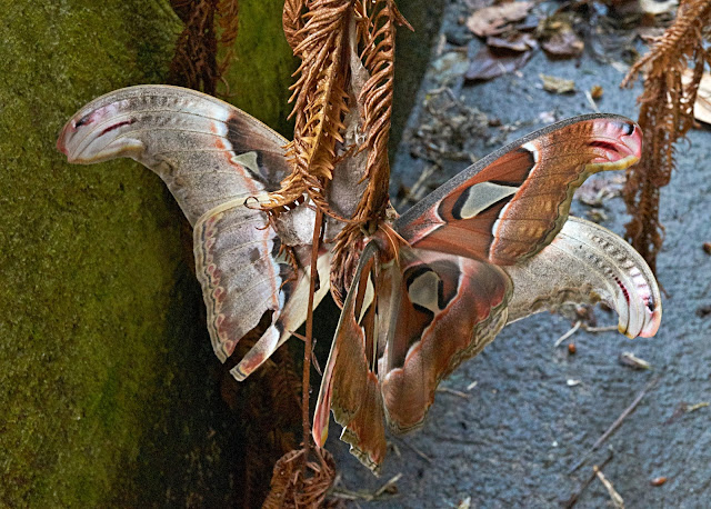 Atlas Moth, beauty,Philippines,Garden,tropical rain forest