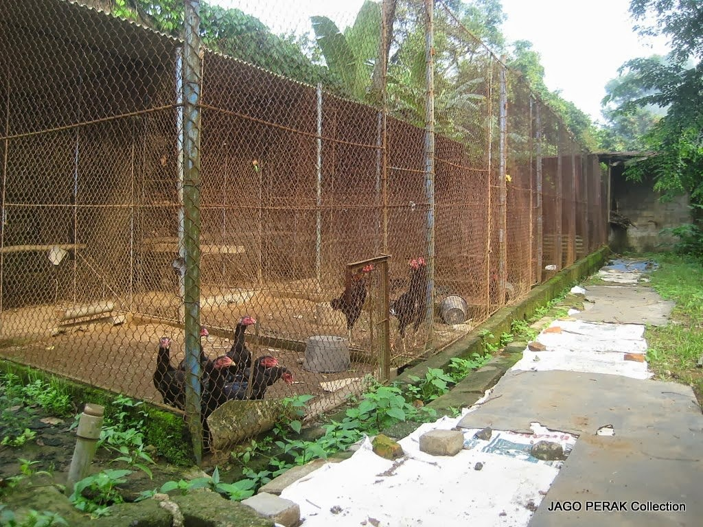 Kandang Ayam Bangkok yang Sehat | Ayam Bangkok Asli