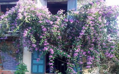 Nụ hoa lay tím dáng chiều