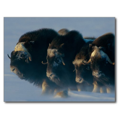 Musk-oxen Huddle Together in Chilly Winds | Wildlife Photo Postcard