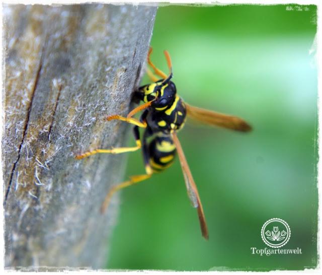 Gartenblog und Foodblog Topfgartenwelt Buchtipp Kreative Naturfotografie: Naturfotografie im eigenen Garten - Wespe auf Holzstiel